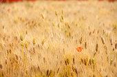 barley, poppies