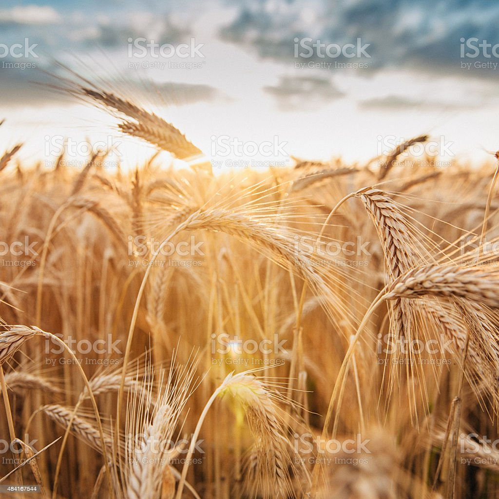 Barley ready to harvest in late summer evening stock photo