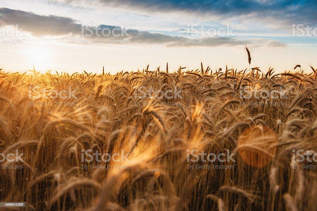Barley ready to harvest stock photo