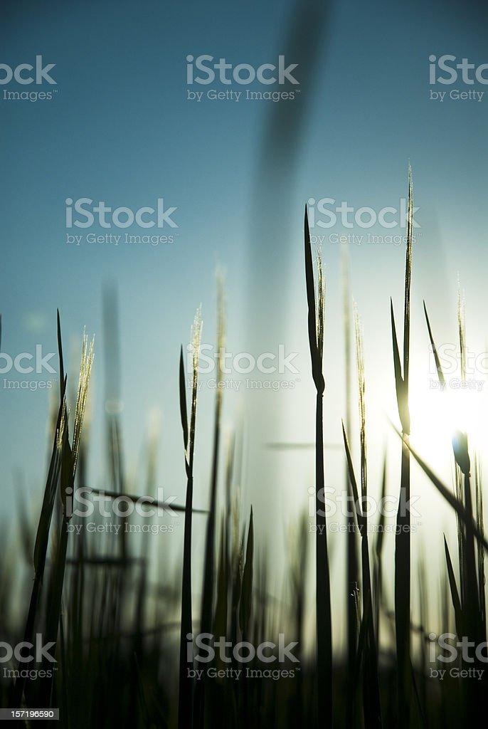 Barley Silhouette royalty-free stock photo