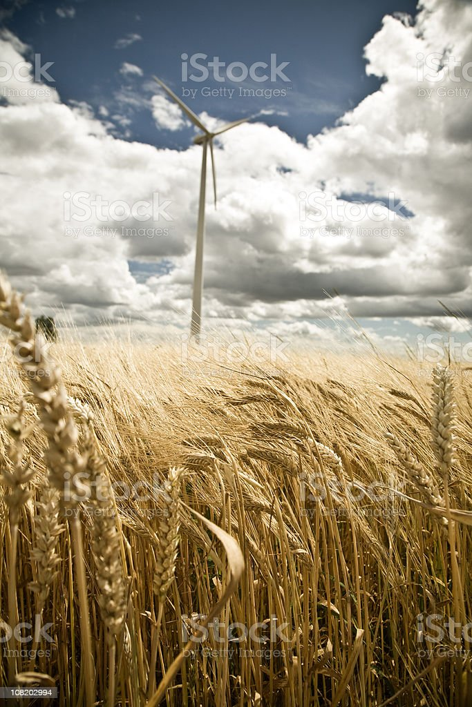 Barley Wheat Field with Wind Turbine in Background royalty-free stock photo