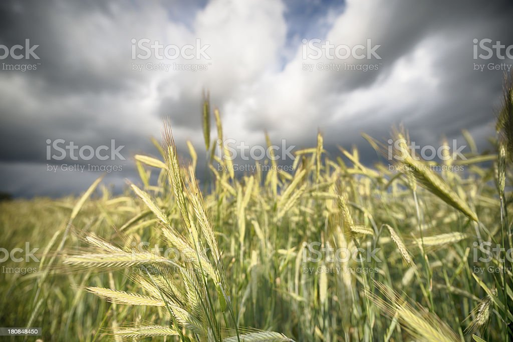 Barleycorn stock photo