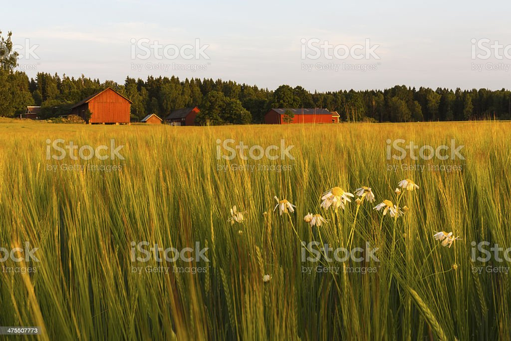 Barleyfield with mayweed in foreground stock photo