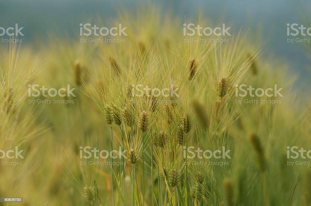 Barleys royalty-free stock photo