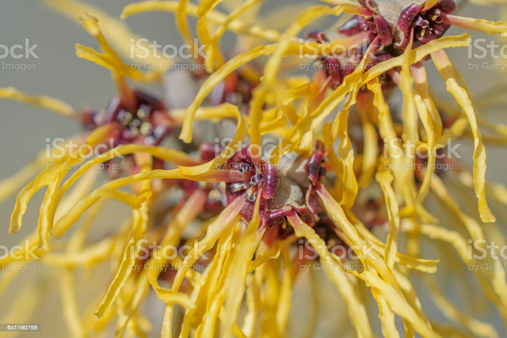 Barmstedt Gold witch hazel flowers stock photo