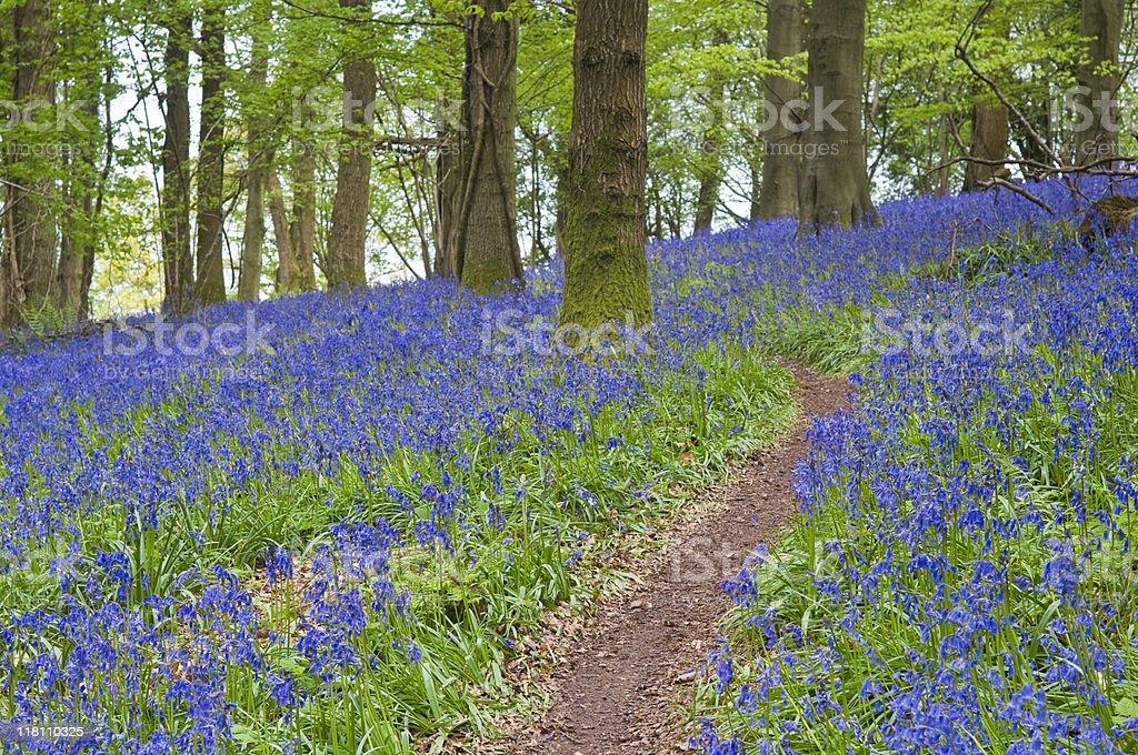 Barmy Bluebells! royalty-free stock photo