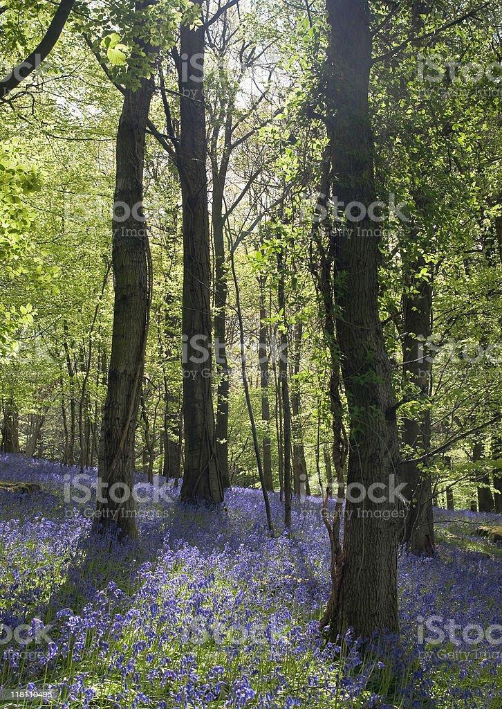 Barmy Bluebells royalty-free stock photo