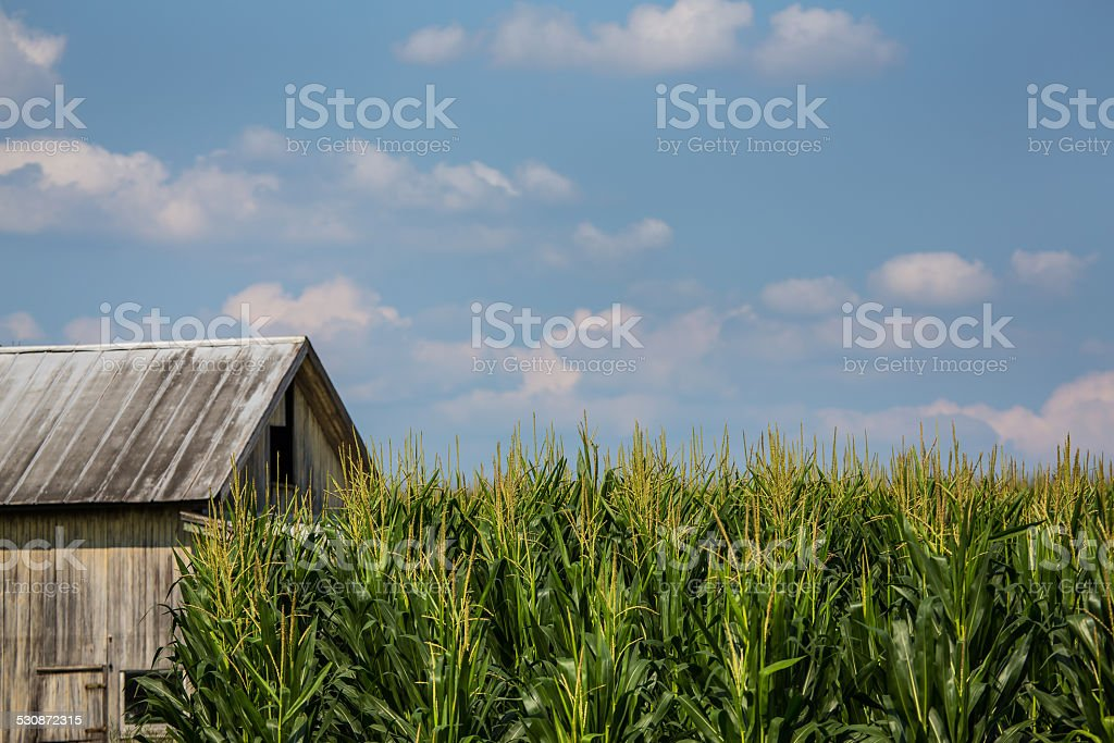 Barn and cornfield against blue sky and clouds. stock photo