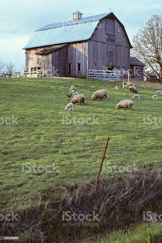 Barn and Sheep stock photo