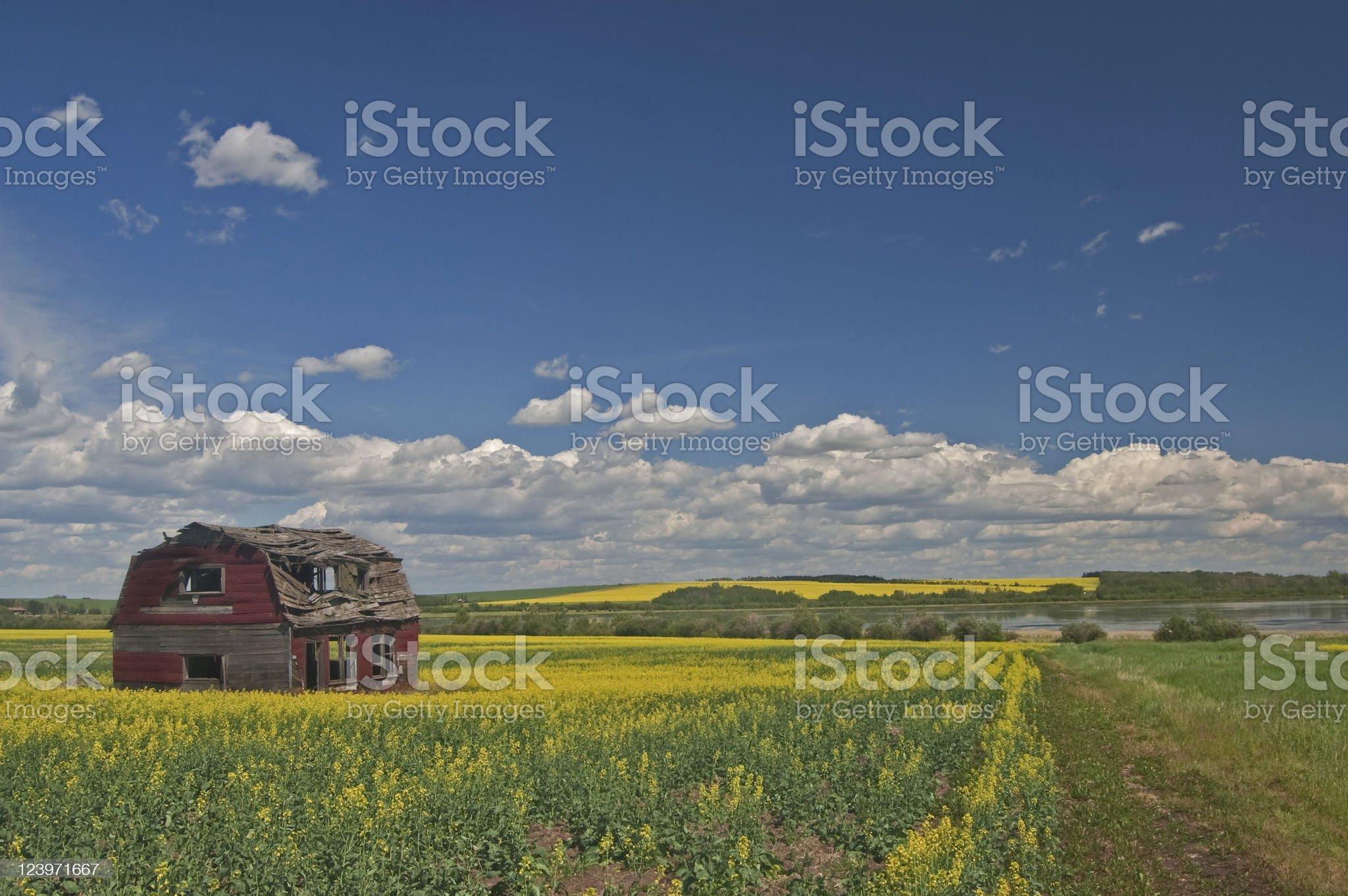 barn in canola royalty-free stock photo
