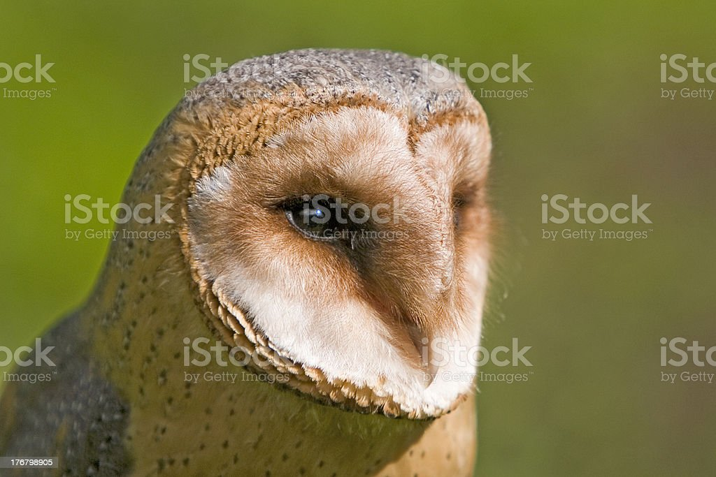 Barn owl at a raptor demonstration royalty-free stock photo