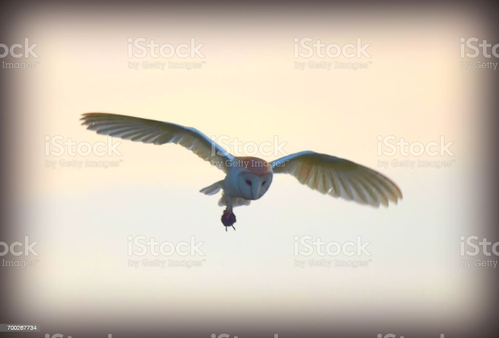 barn owl bird of prey in flight flying at sunset carrying prey