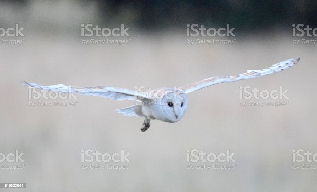 barn owl bird of prey in flight flying