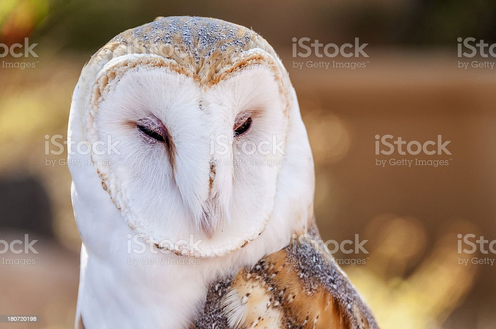 Barn Owl Closeup royalty-free stock photo