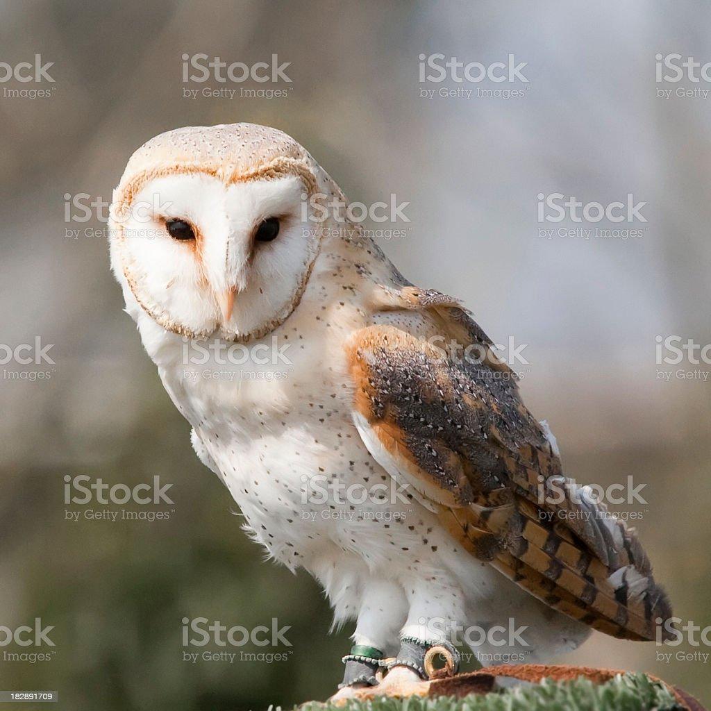 Barn Owl Close-up royalty-free stock photo