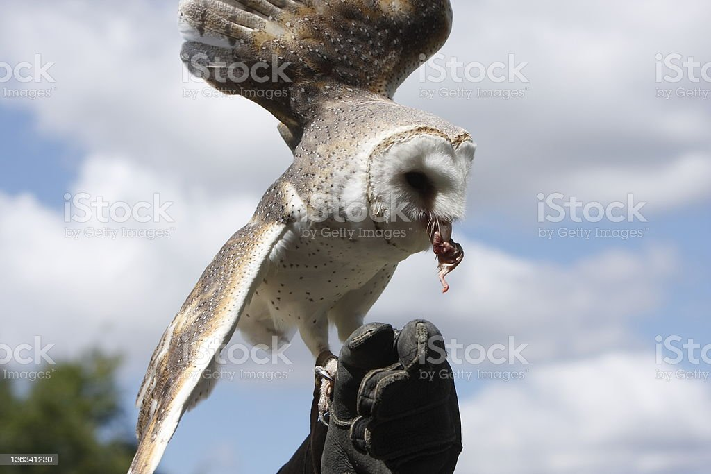 Barn Owl Eating royalty-free stock photo