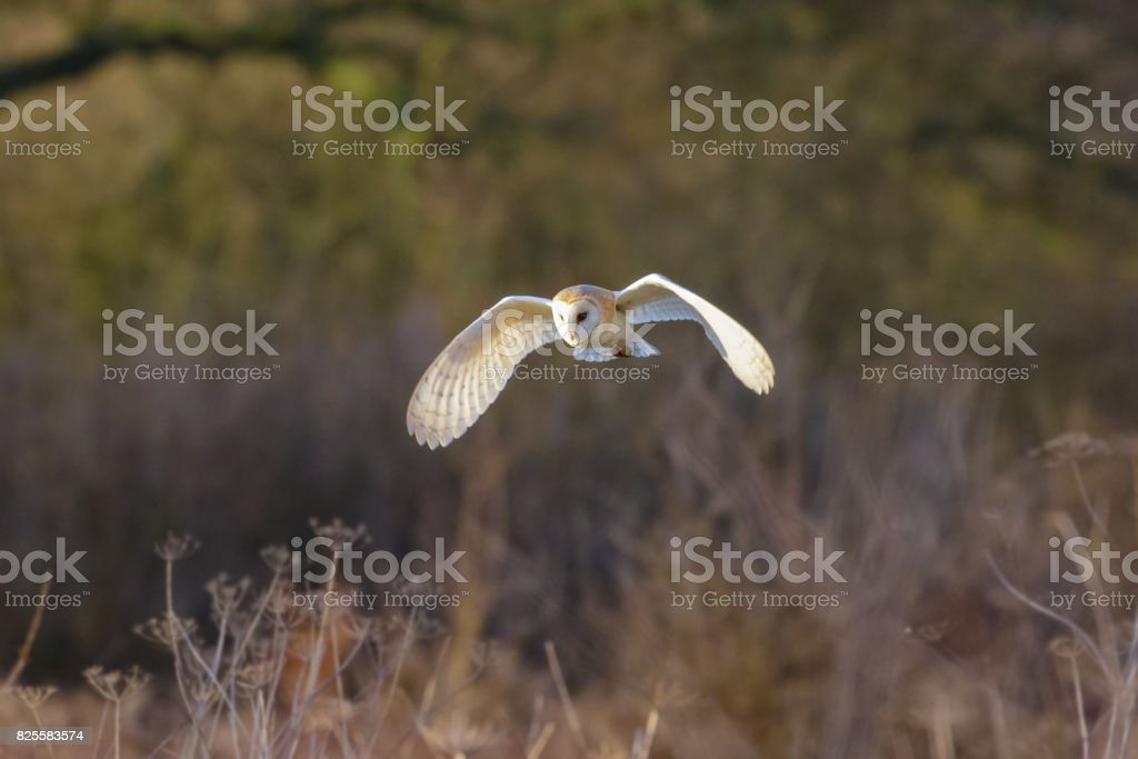 Barn Owl (Tyto alba) flying, in flight,  hunting or quartering low over a meadow stock photo