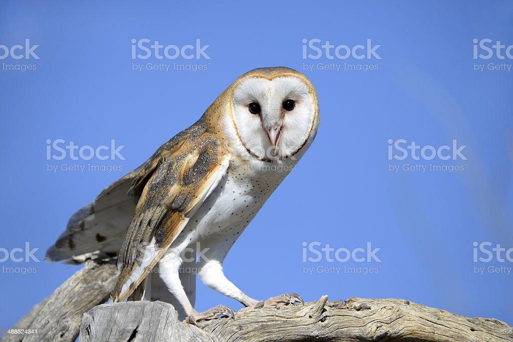 Barn Owl from Arizona, USA stock photo