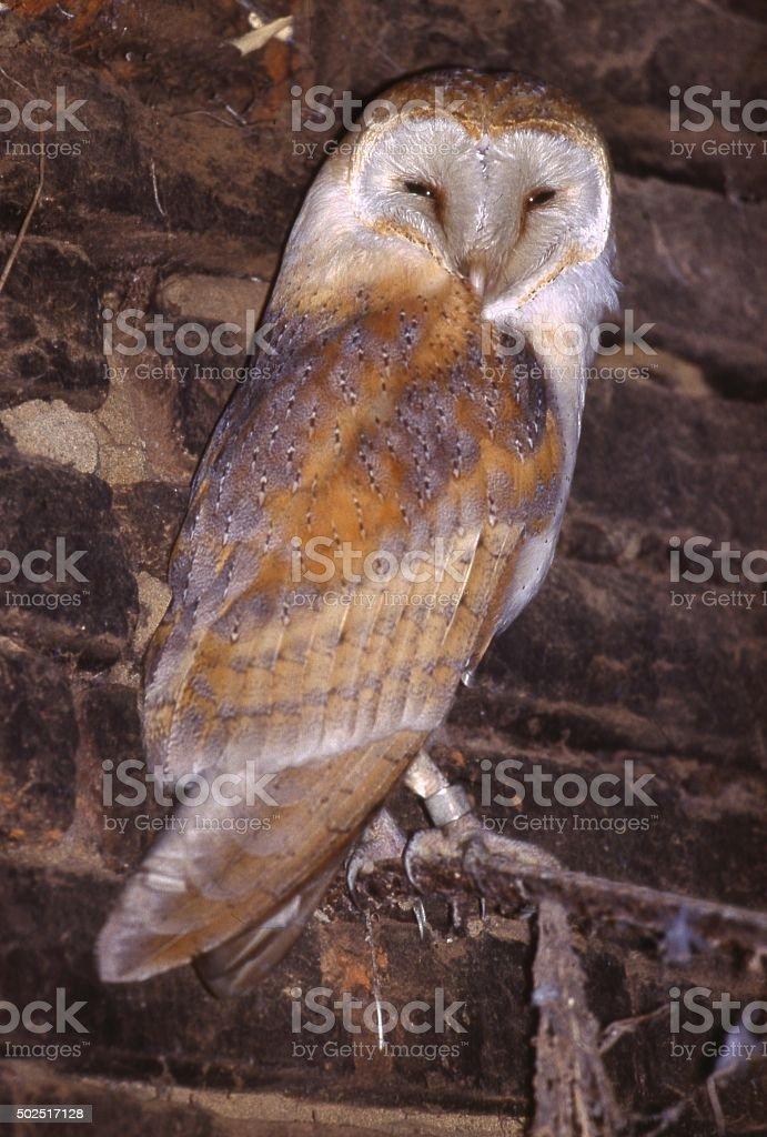 Barn Owl (Tyto alba) in a barn. stock photo