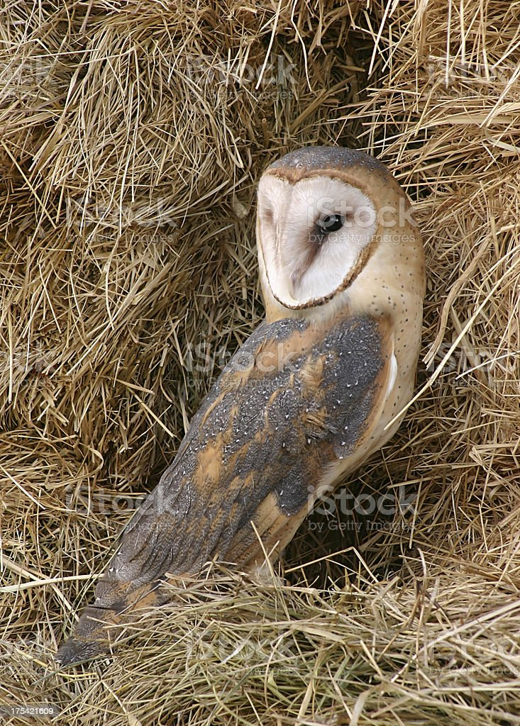 Barn Owl in a Haystack royalty-free stock photo