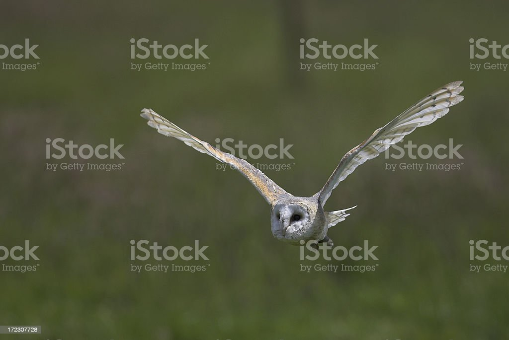 Barn Owl in flight royalty-free stock photo