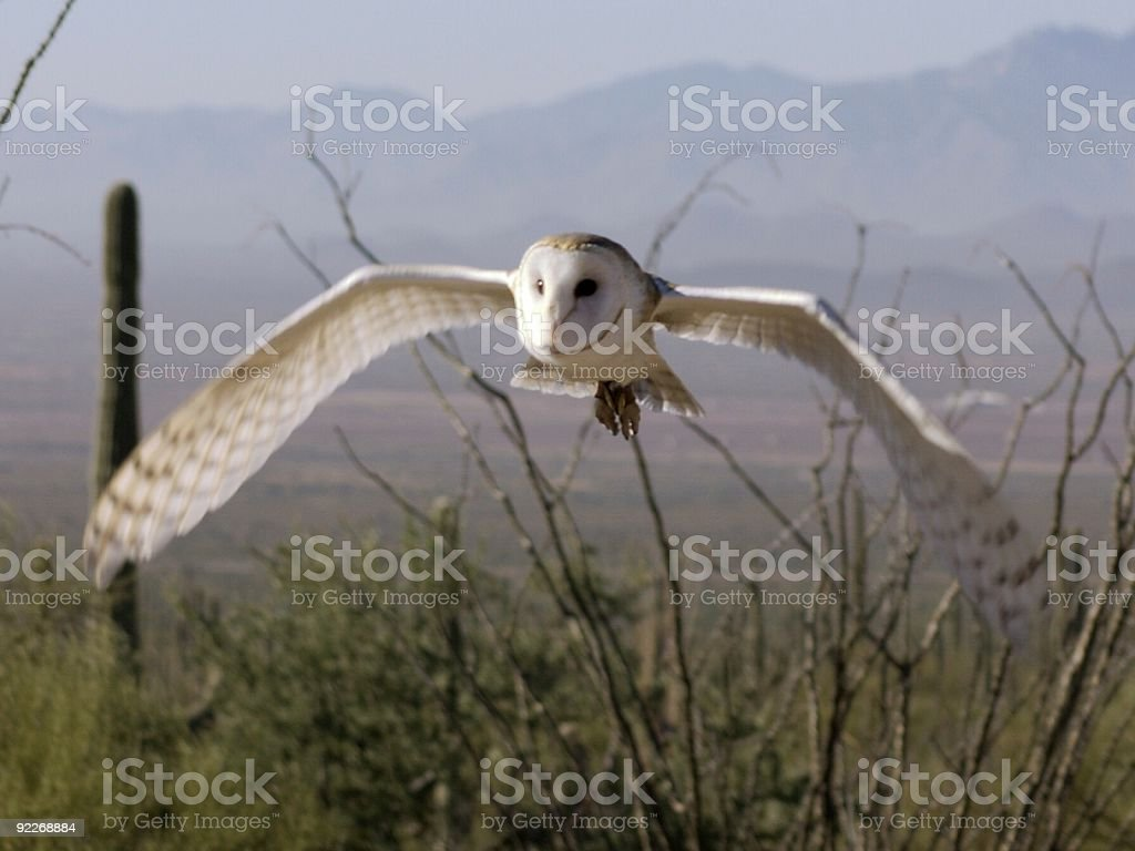 Barn Owl in Flight royalty-free stock photo