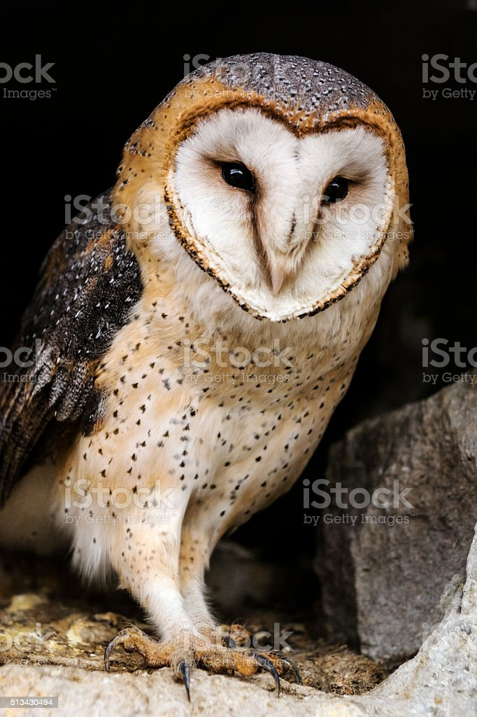 Barn owl in hole of old town wall stock photo