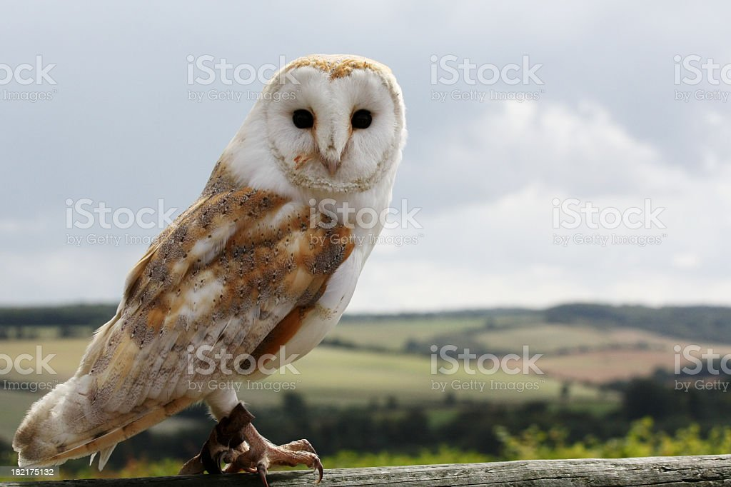 Barn owl looking forwards with landscape and sky behind stock photo