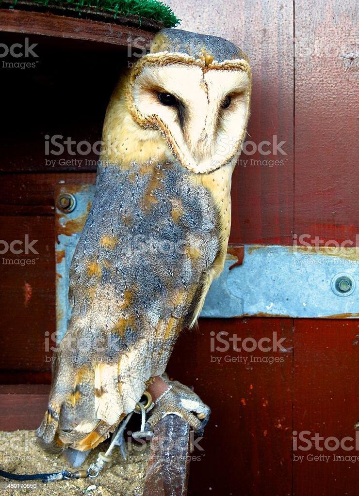 Barn owl on perch stock photo