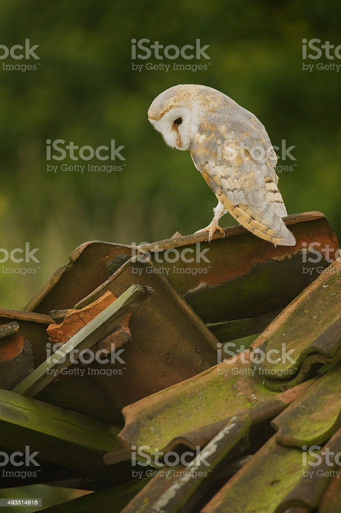 Barn Owl (Tyto alba) perched on derelict barn roof stock photo