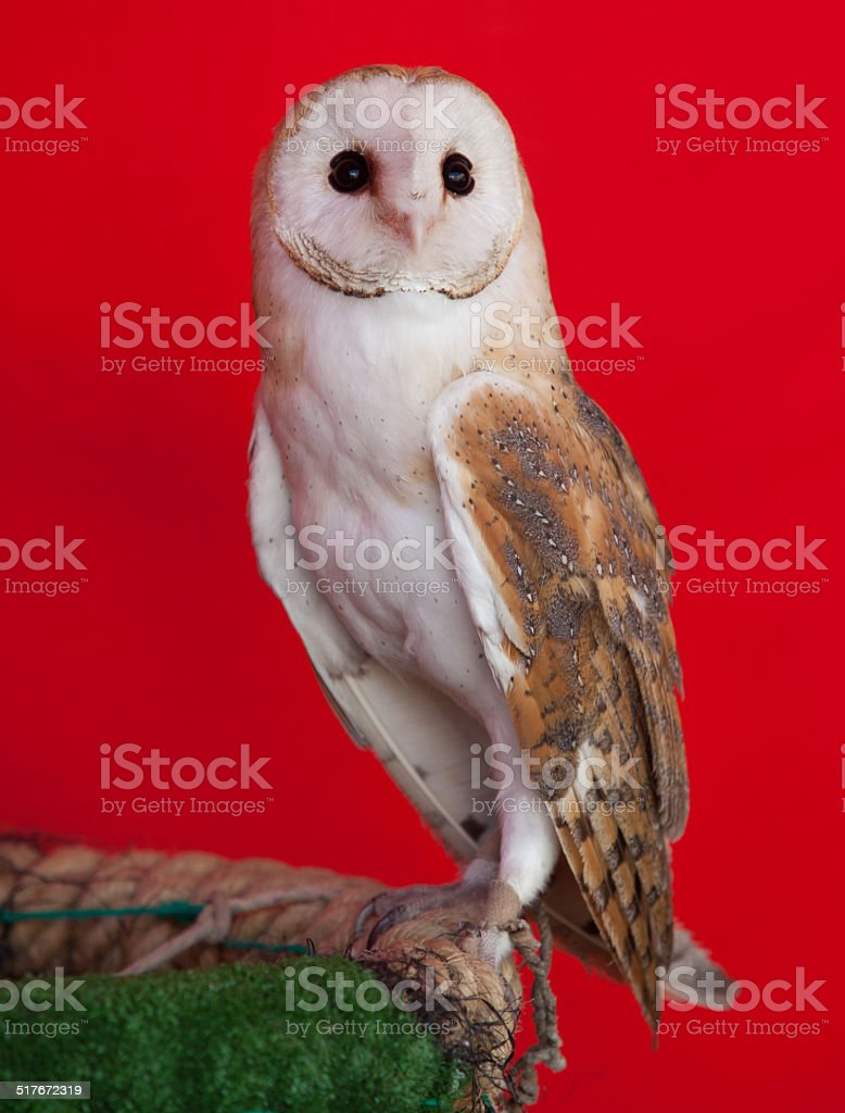 Barn owl perched stock photo