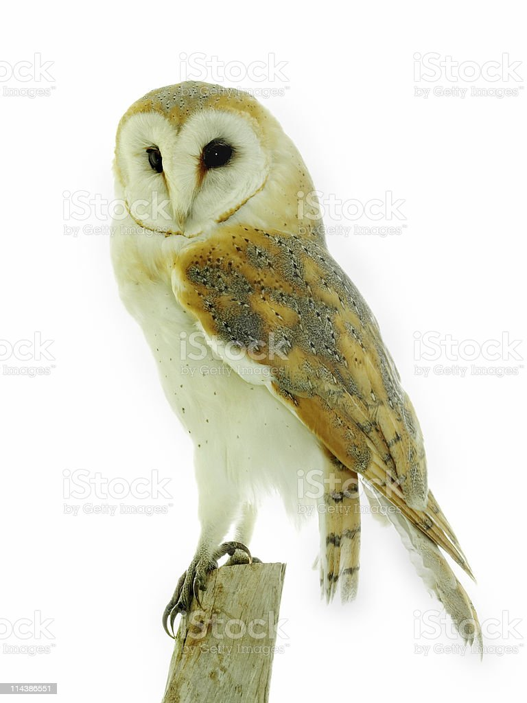Barn Owl (Tyto alba) royalty-free stock photo