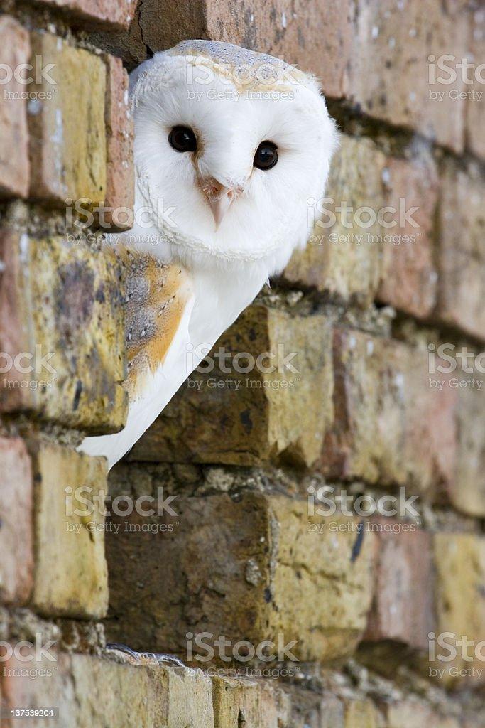 Barn owl royalty-free stock photo