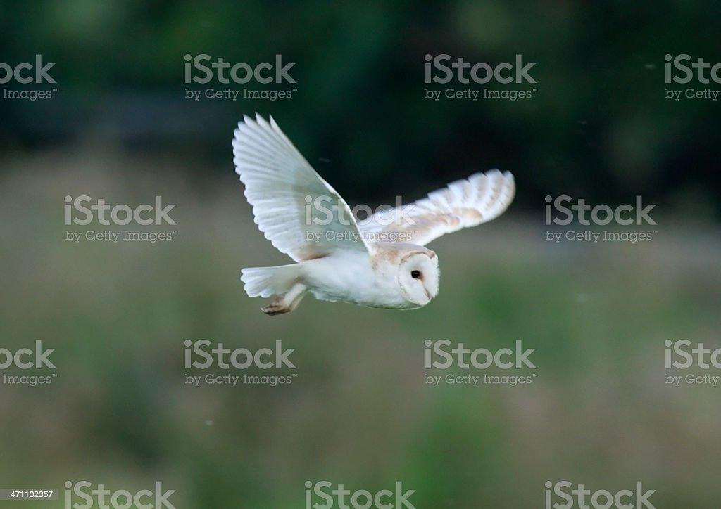 Barn Owl (Tyto alba) royalty-free stock photo