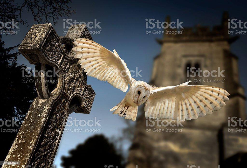 Barn Owl (Tyto alba) stock photo