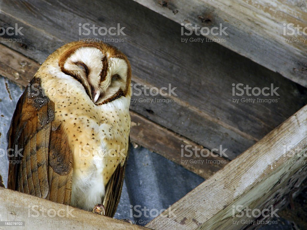 Barn Owl Sleeping in the Rafters stock photo
