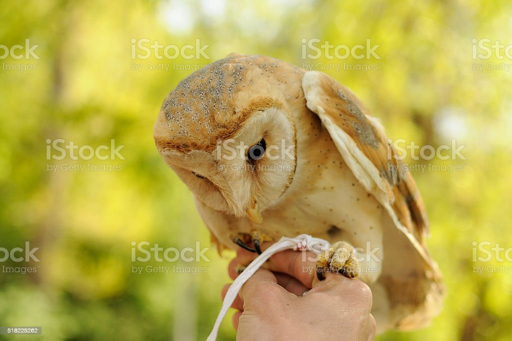 Barn owl standing on the human hands stock photo