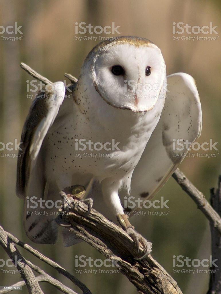 Barn Owl Take Off royalty-free stock photo