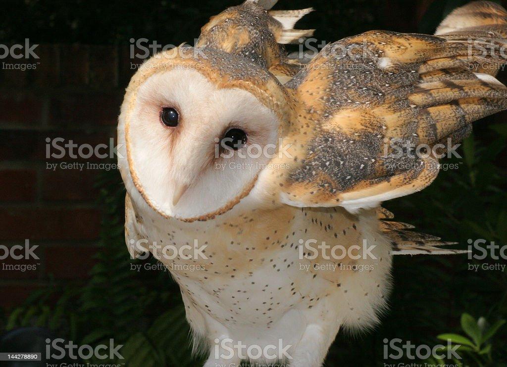 Lechuza blanca toma vuelo foto de stock libre de derechos