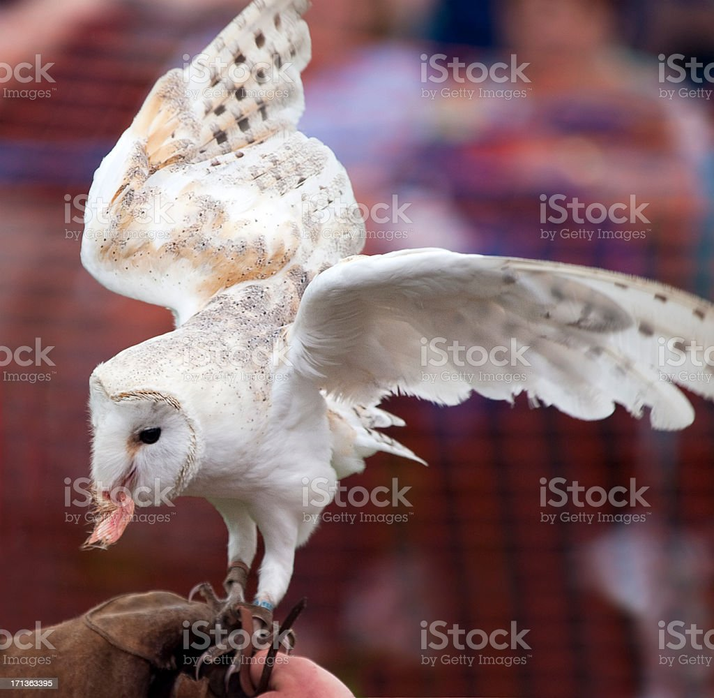 Barn Owl taking food from a falconer's glove stock photo