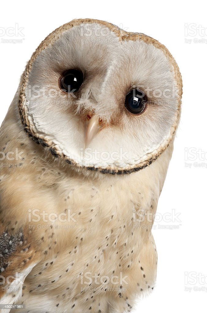 Barn Owl, Tyto alba, 4 months old royalty-free stock photo