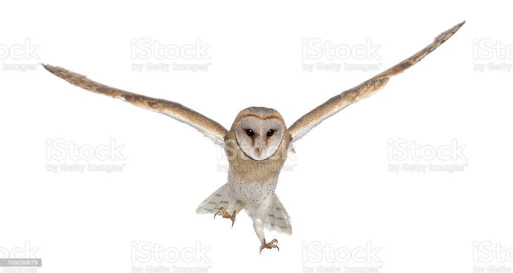 Barn Owl, Tyto alba, 4 months old, portrait flying stock photo