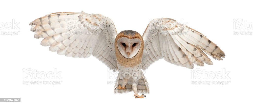 Barn Owl, Tyto alba, 4 months old, portrait flying stock photo
