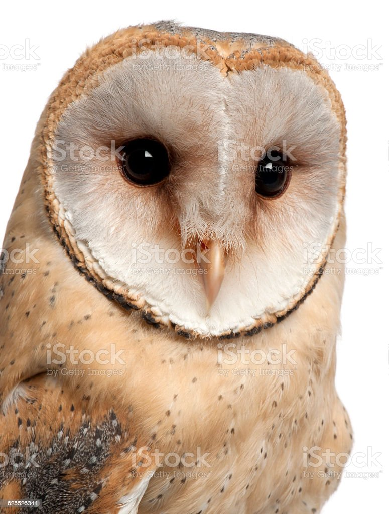 Barn Owl, Tyto alba, portrait and close up stock photo
