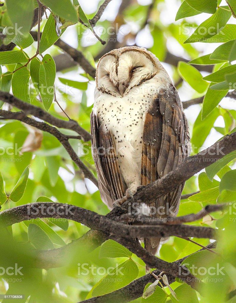 Barn Owl, Tyto alba, roosting; Etosha N.P., Namibia, Africa stock photo