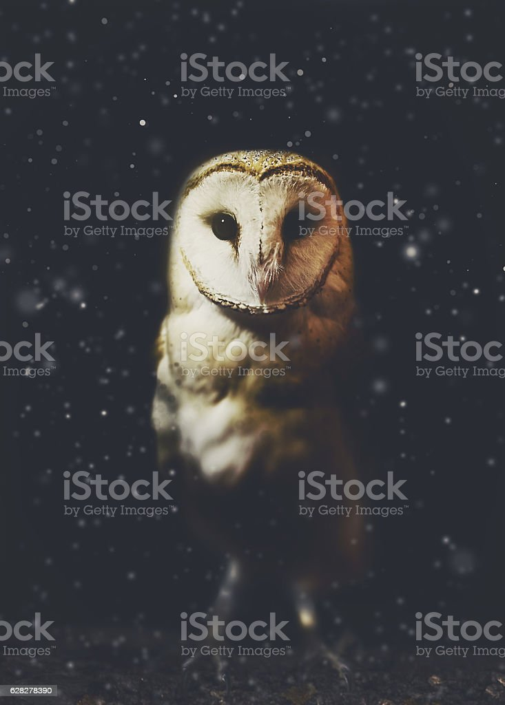 Barn owl winter portrait with snow background stock photo