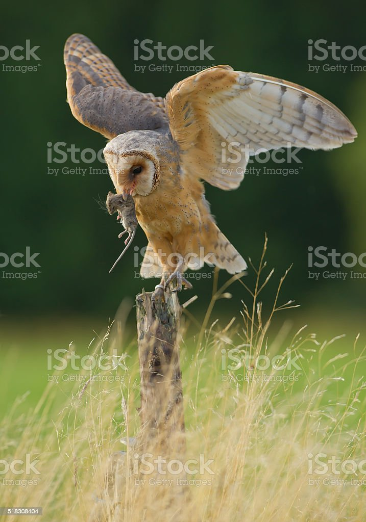 Barn owl with open wings and mouse prey stock photo