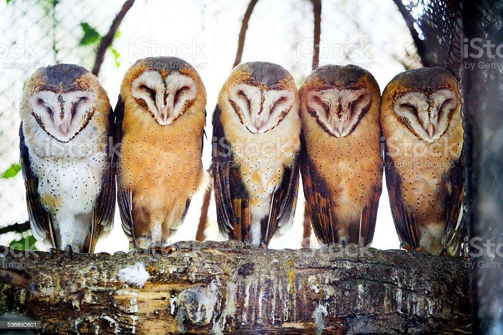 Barn owls on tree branch stock photo