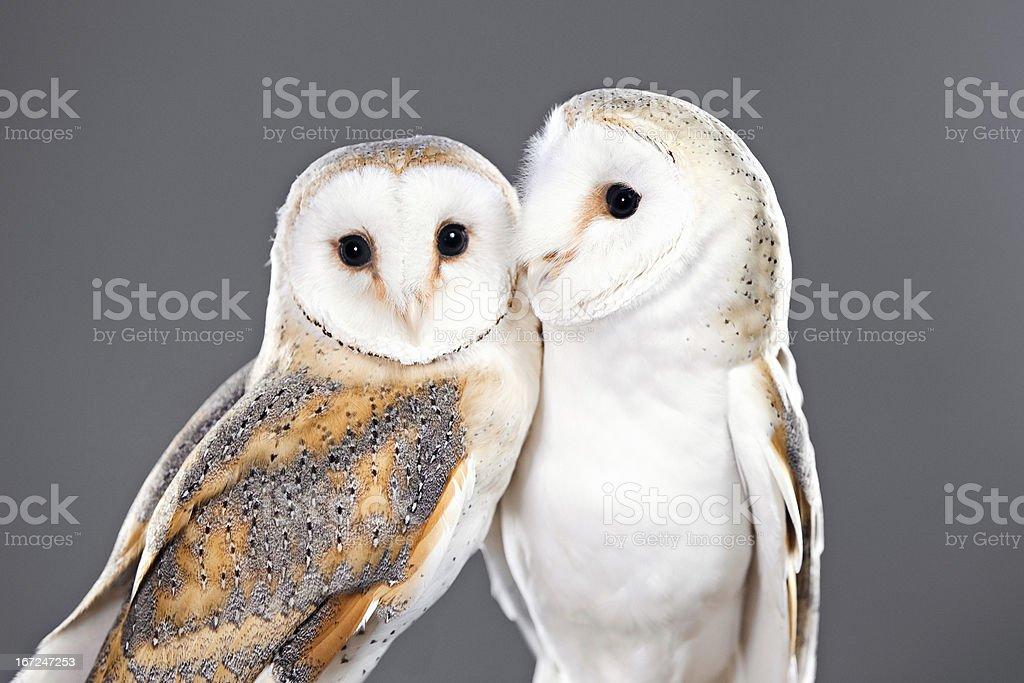Barn Owls Pair royalty-free stock photo