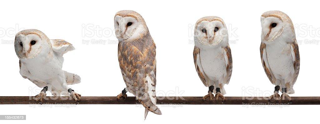 Barn owls stock photo